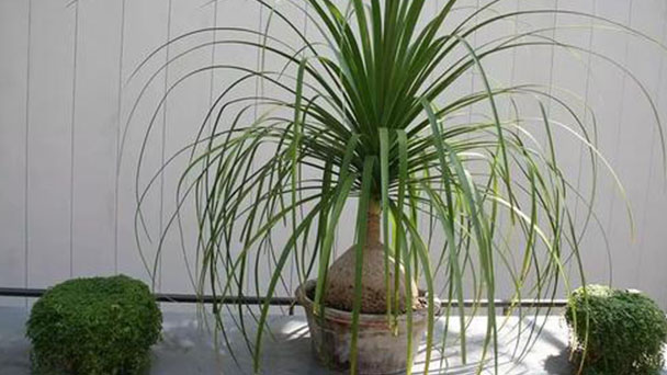How to care for Ponytail Palm