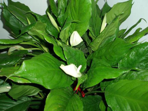 Rohdea Japonica