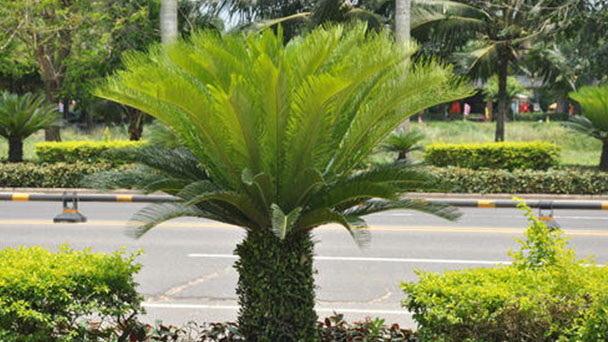 How to care for Sago palm