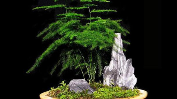 Common asparagus fern profile