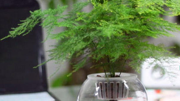 How to take care of Common asparagus fern