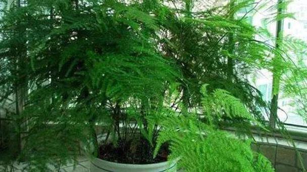 Propagation methods of Common asparagus fern