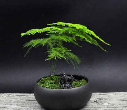 Common asparagus fern