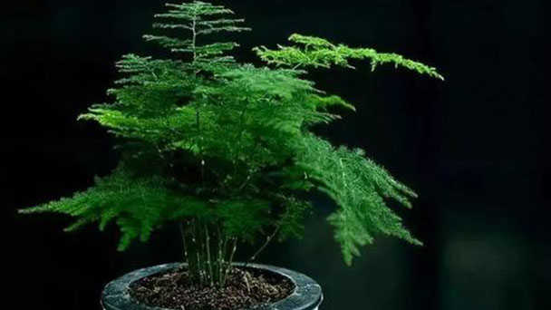 How to care for Common asparagus fern