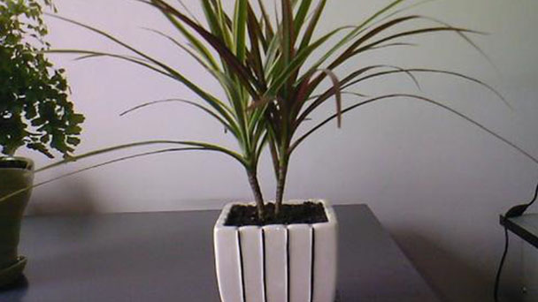 How to take care of Dragon Tree