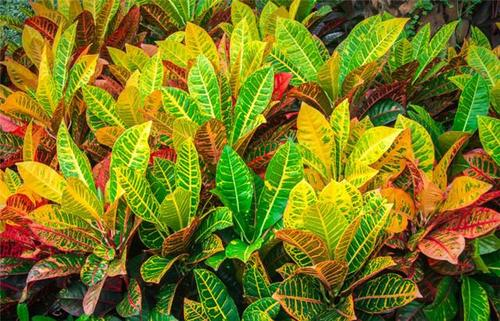 Garden Croton