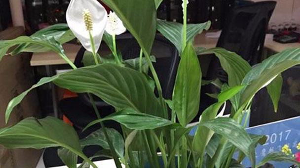 How to take care of Peace lily