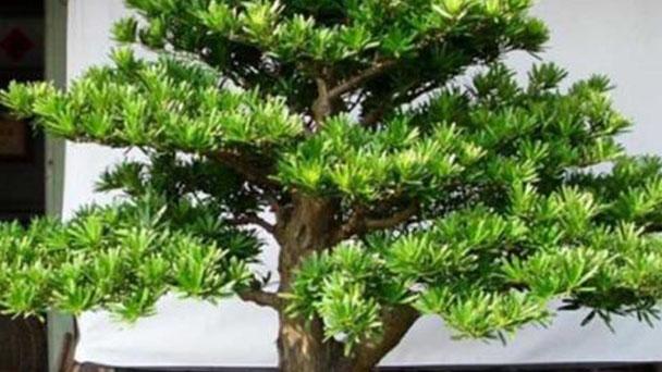 Podocarpus brevifolius profile