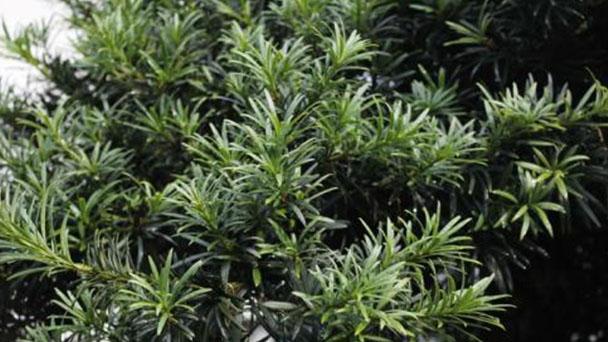 Propagation methods of Podocarpus Brevifolius