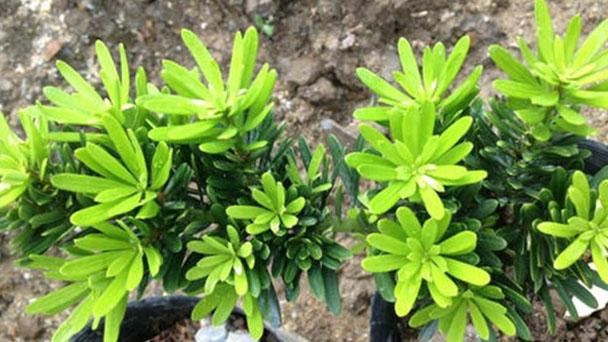 How to grow and care for Podocarpus brevifolius