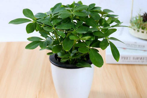 Schefflera - most common house plant