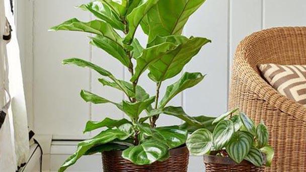 Fiddle-leaf fig profile