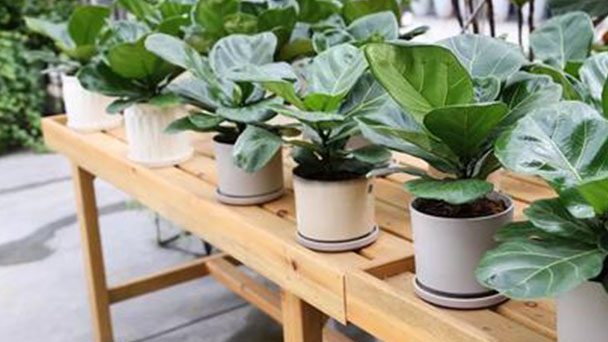 How to take care of Fiddle-leaf fig
