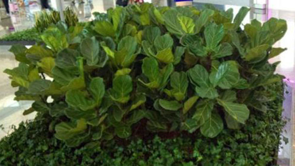 How to grow and care for Fiddle-leaf fig