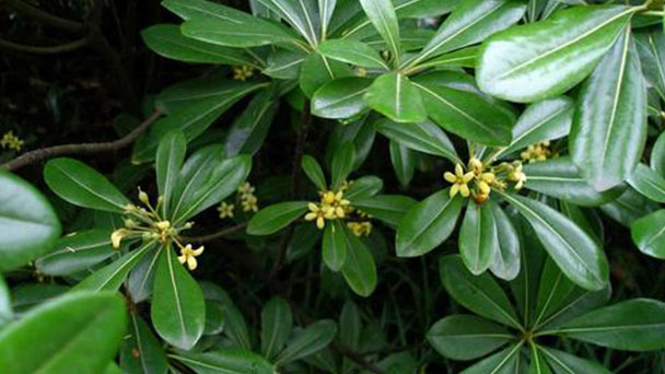 Propagation methods of Fiddle-leaf fig