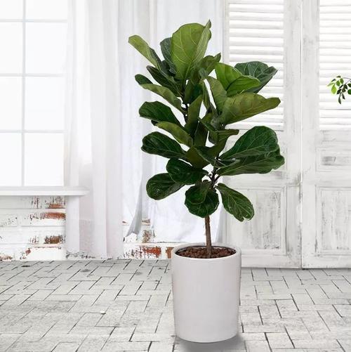 Fiddle- Leaf fig