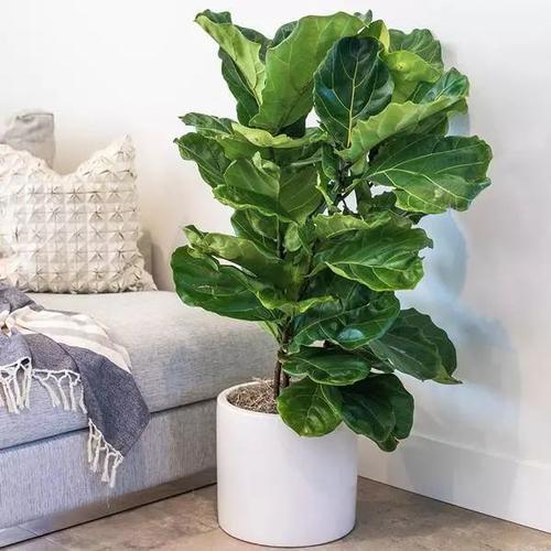 Best Indoor Tree - Fiddle Leaf Fig