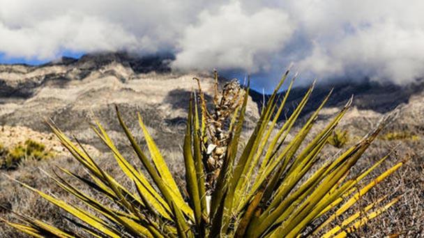 Yucca profile