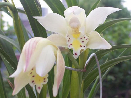 Ivory-colored Cymbidium