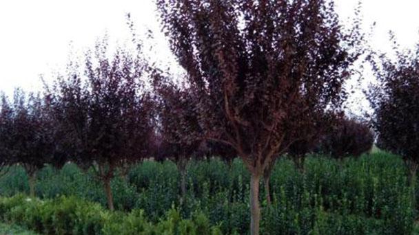 Propagation methods of Prunus Cerasifera