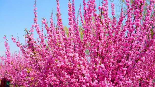 Prunus Triloba profile