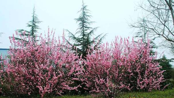 How to grow Prunus Triloba from a seed