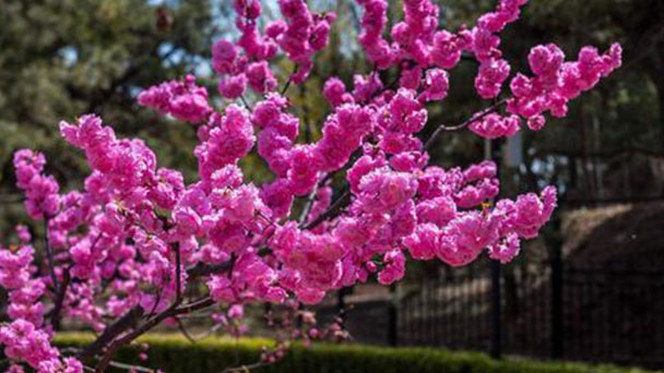 How to grow and care for Prunus Triloba