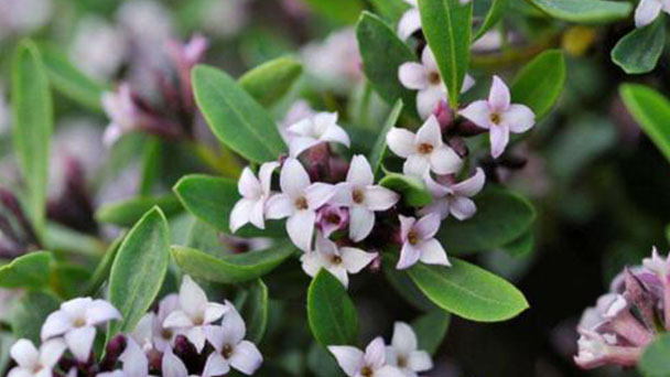 How to grow and care for Daphne odora