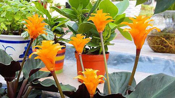 How to grow and care for Eternal Flame