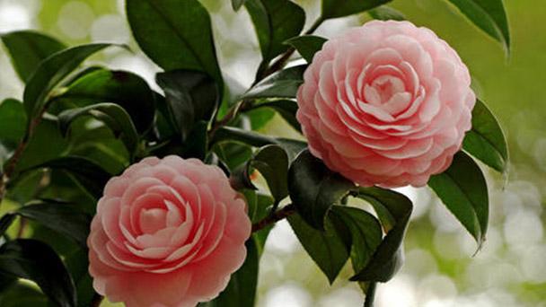 Japanese camellia profile