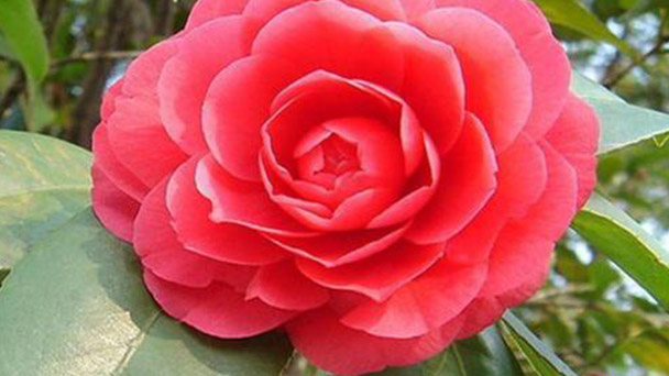 Japanese camellia caring tips