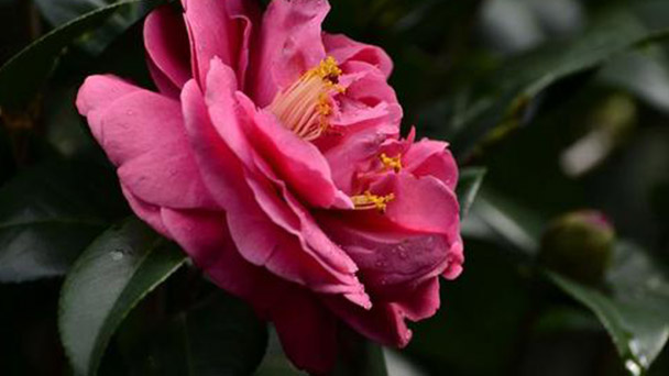 How to grow and care for Japanese camellia