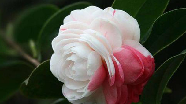 How to take care of Japanese Camellia plant