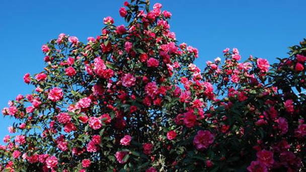 Propagation methods of Japanese camellia