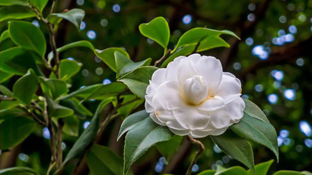 How to care for Japanese camellia