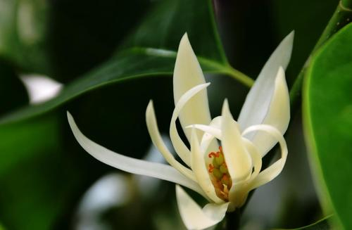 How to care for Magnolia alba