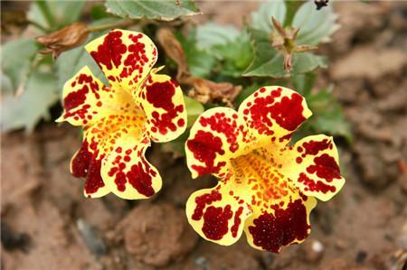 Mimulus Hybridus