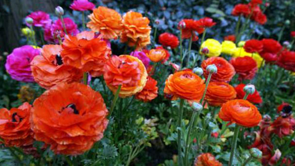 How to grow and care for Persian buttercup