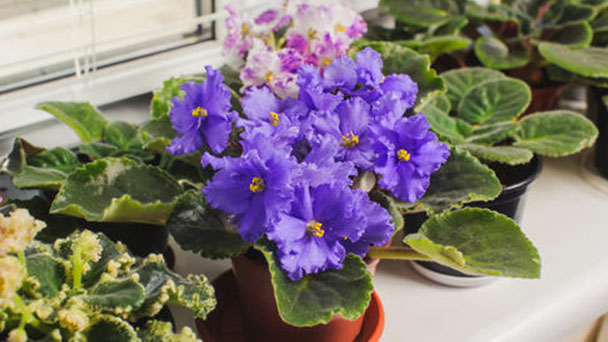 How to grow and care for African violets