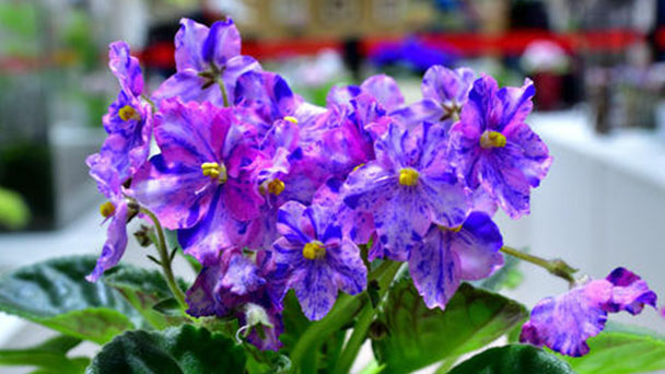Propagation methods of African violets