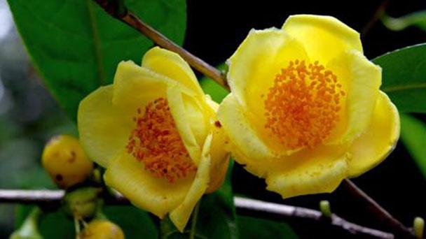 Camellia chrysantha profile
