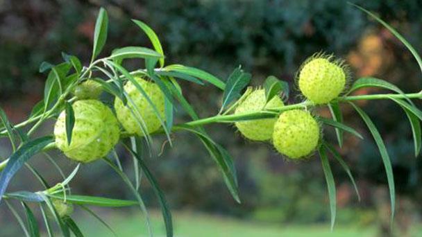 Gomphocarpus physocarpus profile