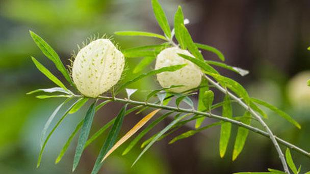 How to grow and care for Gomphocarpus physocarpus