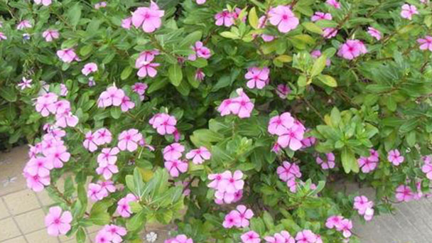 How to grow and care for Madagascar Periwinkle