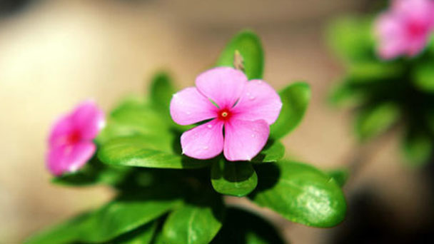 How to propagate Madagascar Periwinkle