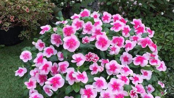Madagascar Periwinkle plant care