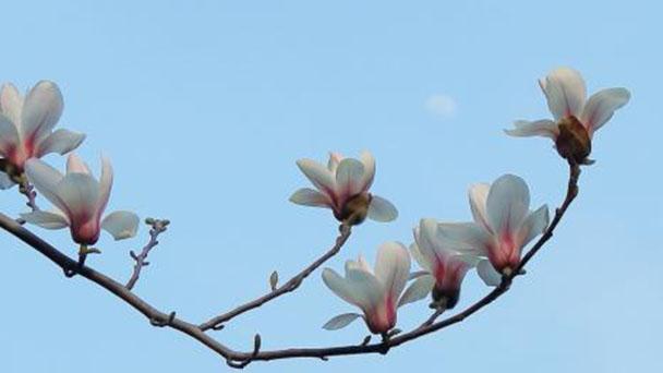 Magnolia Alba profile