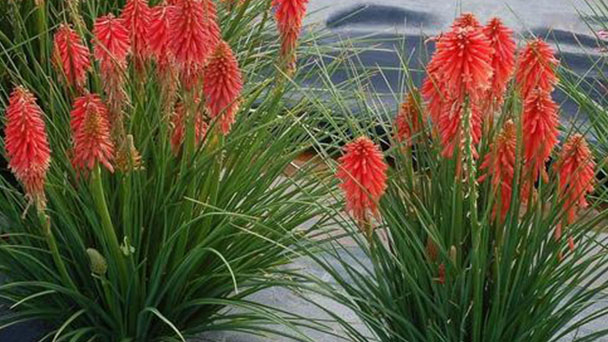 Red hot poker profile