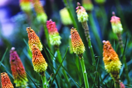 Red Hot Poker caring tips