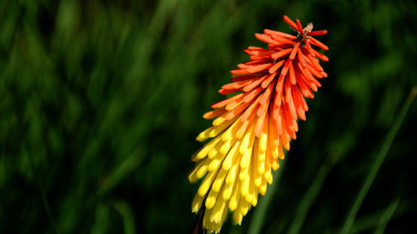 Propagation methods of Red hot poker